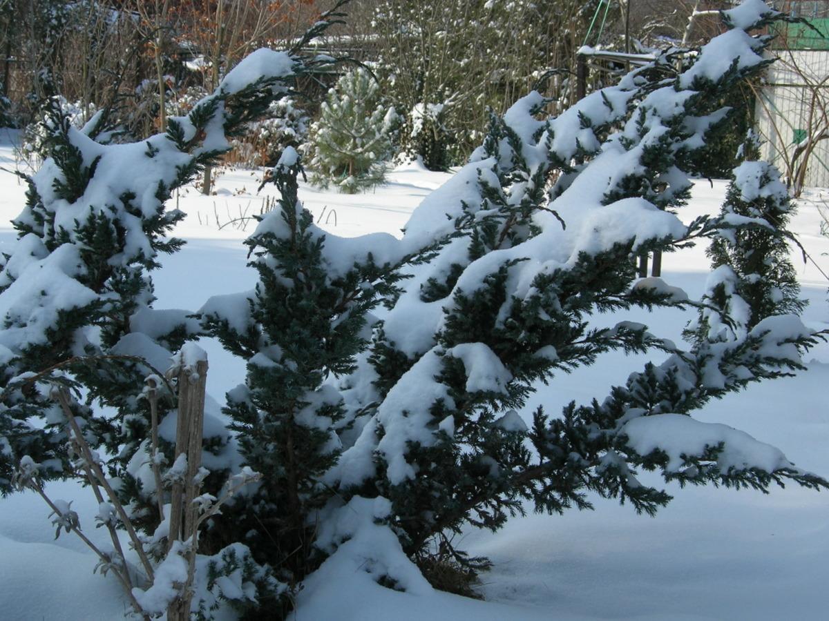 Как ухаживать за можжевельником зимой?