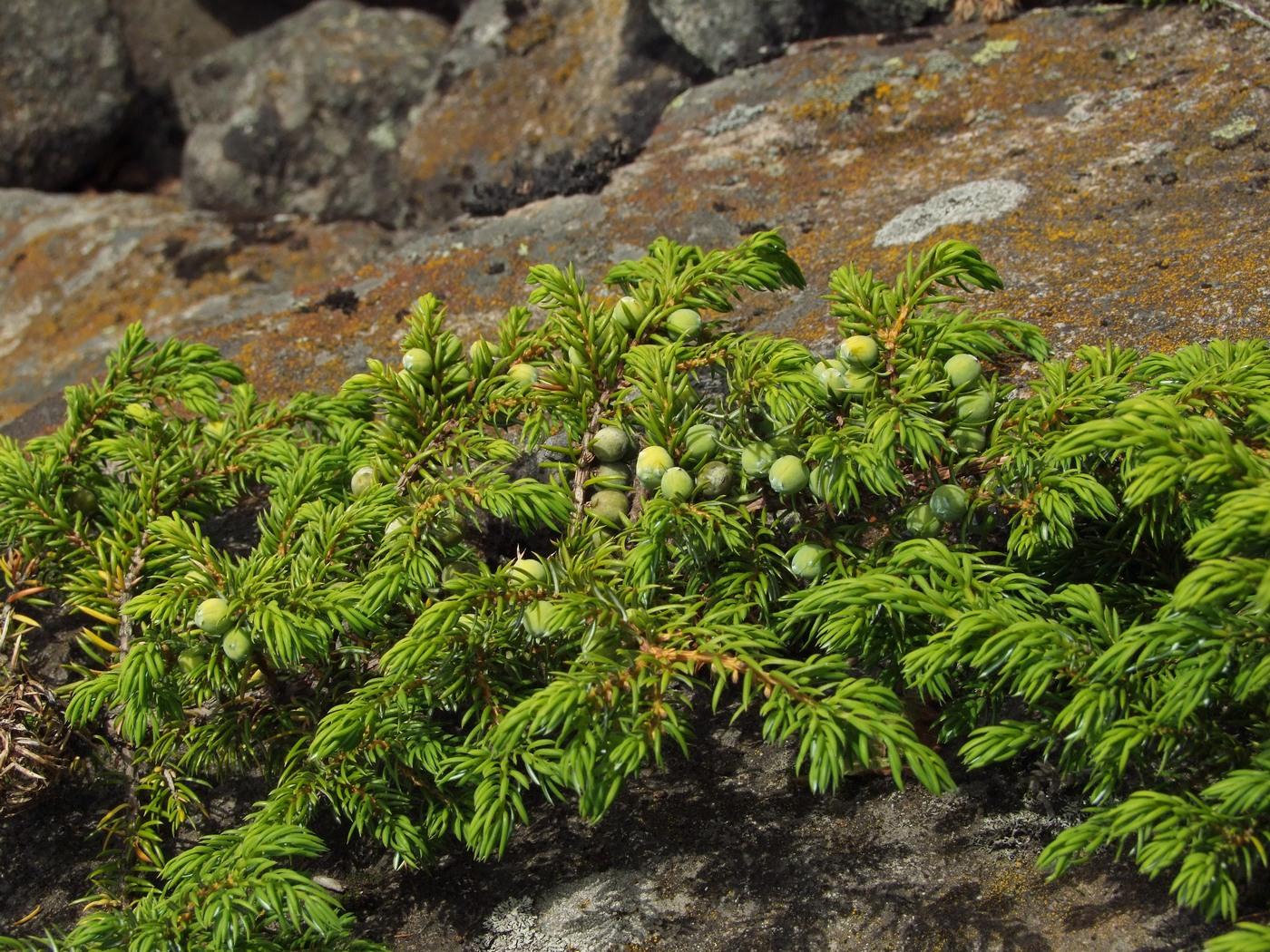 Можжевельник сибирский (juniperus sibirica)