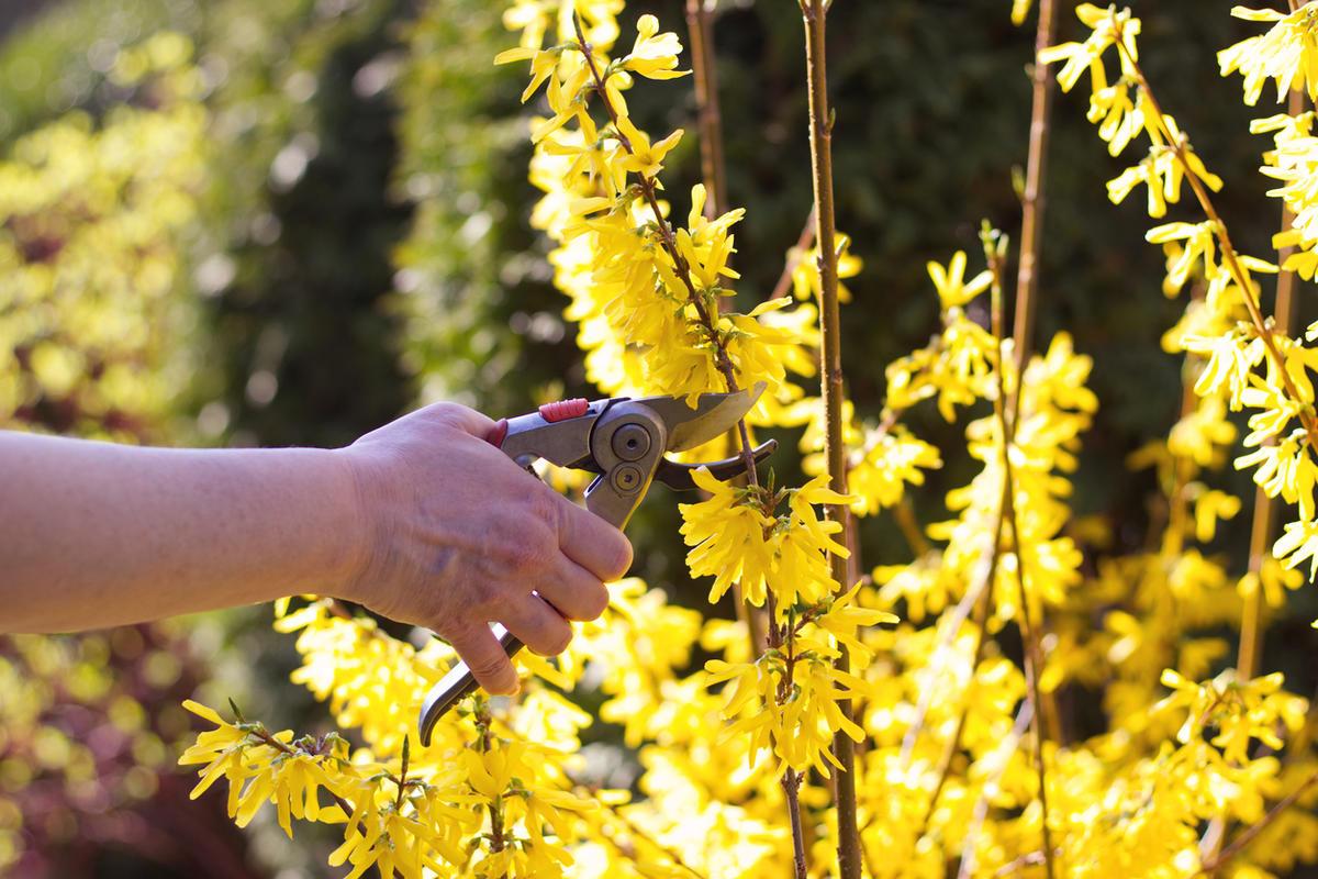 Правильная обрезка форзиции весной и летом